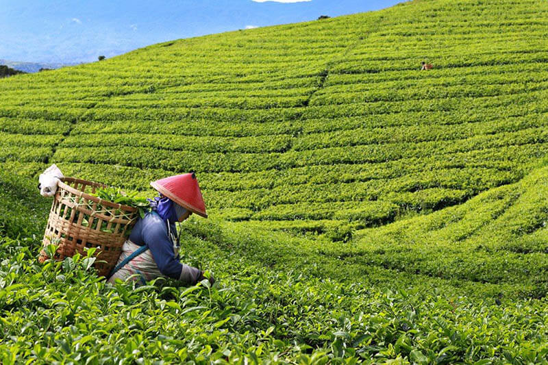 Best Indonesian Tea to Buy When Visiting Indonesia