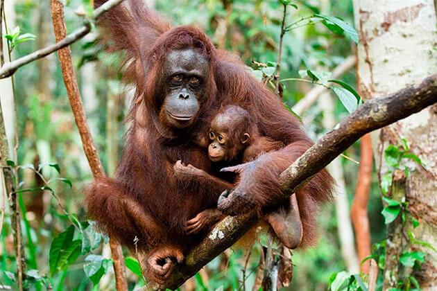 Borneos Orangutans - great place in Indonesia