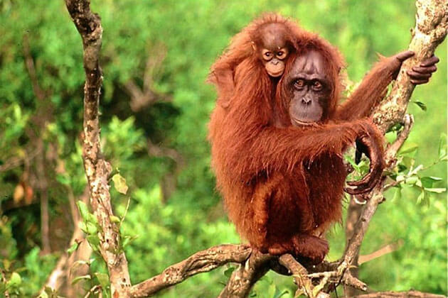 Orangutans can be seen only in Sumatra - top amazing facts about Indonesia