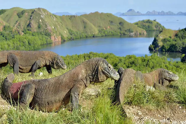 komodo island in indonesia is home to the largest lizard in the world - amazing Indonesia fact
